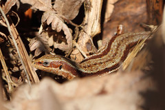Common (viviparous) Lizard (Lacerta vivipara) (Rob Ward (Bothrops)) Tags: reptile lizard forestofdean basking robinward