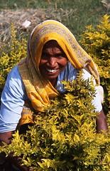Indian Gardner (Peter Schnurman) Tags: woman india agra womangardner