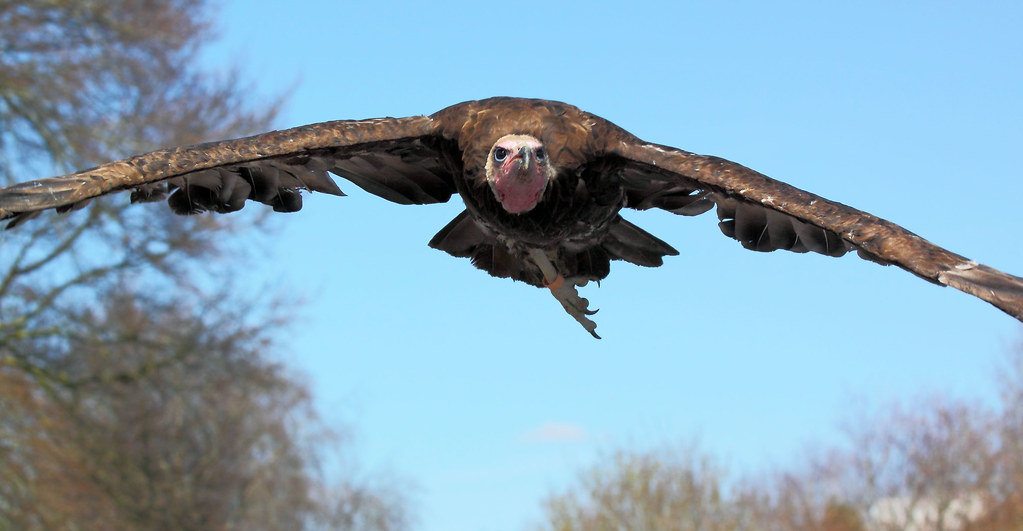 V52 Vulture Bomber