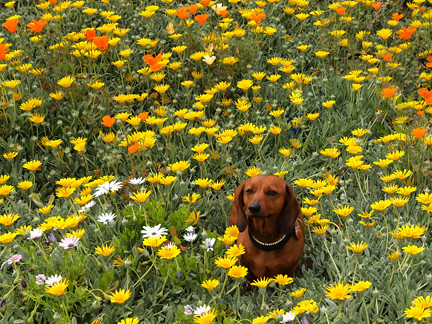 Chessie taking time to smell the flowers