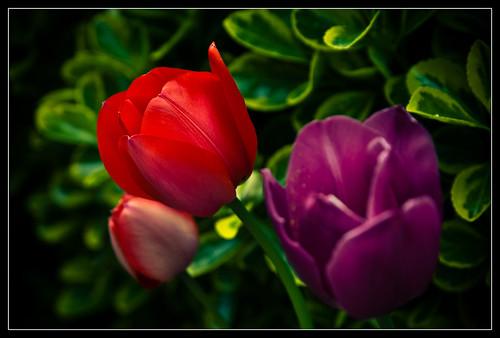 Tulipanes-8