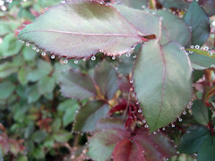 water beads on rose leaves