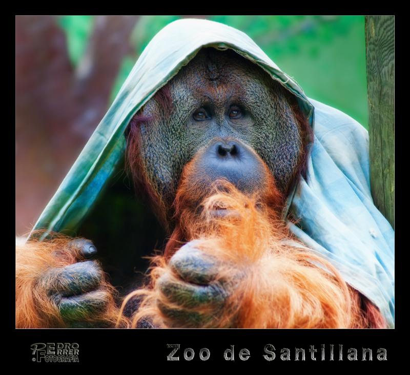 Orangután - Zoo de Santillana