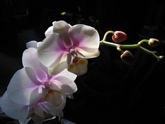 Orchid (Inatil) Tags: legacy shining tqm coth fantasticnature itsawonderfulworld musicsbest qualitysurroundings daarklands magicunicornverybest selectbestfavorites trolledproud coppercloudsilvernsun fleursetpaysages virgiliocompany heavensshots pinnaclephotography