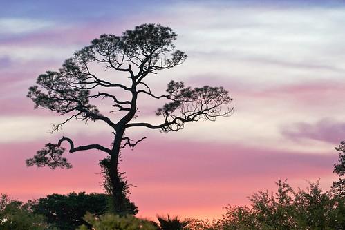 [107/365] Sunset Pine