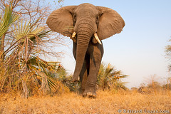 African Elephant (Will Burrard-Lucas   Wildlife) Tags: africa portrait elephant tanzania african bull katavi beetlecam