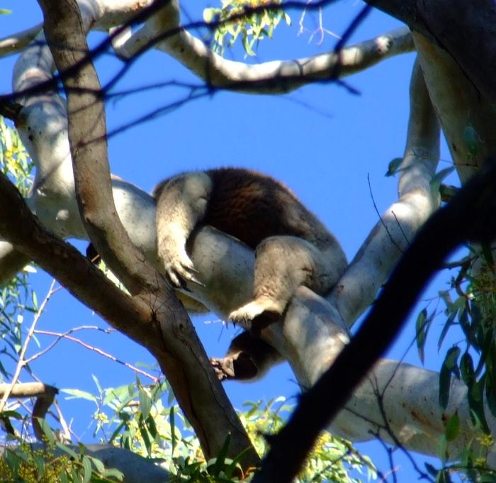 koala klaws