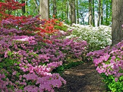 Winterthur 4-23 (PHOTOPHANATIC1) Tags: azaleas delaware winterthur