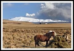 Icelandic horse (Sig Holm) Tags: horses island volcano iceland islandia glacier april eruption sland islande 2010 icelandic islanda eyjafjallajkull hestar ijsland islanti  hross eldgos    slenskt