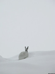 20100331_15 Mountain hare (Lepus timidus) in its winter pelage, Norway (ratexla) Tags: life winter favorite white snow cute bunny bunnies nature beautiful animal animals norge cool europe hare earth wintercoat scandinavia biology scandinavian 2010 1000views zoology tellus hares djur harar organism nonhumananimals whitefur takenthroughglass mountainhare whitehare lepustimidus nonhumananimal winterfur skogshare mountainhares canonpowershotsx10is ratexla winterpelage 31mar2010 ratexlasnorwaytripspring2010 skogsharar photosbyjosefinestenudd photophotospicturepicturesimageimagesfotofotonbildbilder petwhoreday