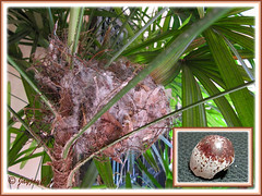 So sad: breeding mission by Pycnonotus goiavier (Yellow-vented Bulbul) failed - egg fell and broke!