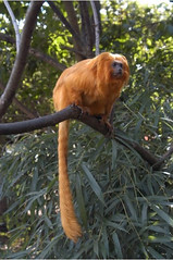 """Golden Lion Tamarin-S3 • <a style=""""font-size:0.8em;"""" href=""""http://www.flickr.com/photos/49635346@N02/4557896480/"""" target=""""_blank"""">View on Flickr</a>"""