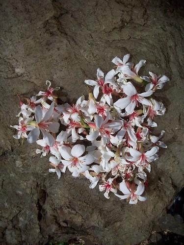 你拍攝的 集滿眾人心願的桐白花。