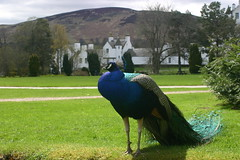 Blair Castle and Peacock