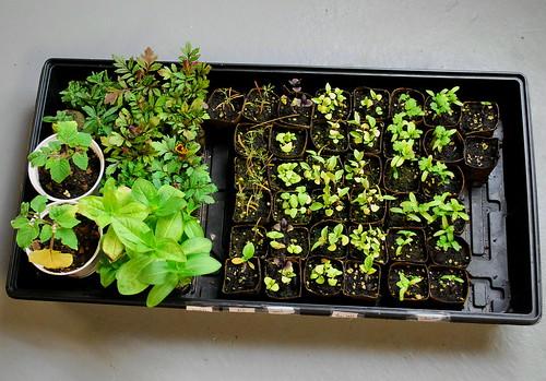 warm season herbs