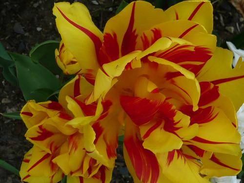 Blown Tulip