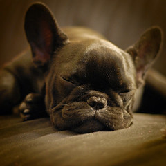 . (susilalala) Tags: dog pet frenchbulldog chita conchita bulldogfrances