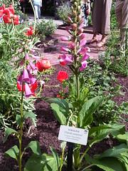 Foxglove at Benjamin Rush Medicinal Plant Garden