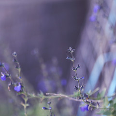 \ \ \ (jewelflyt) Tags: macro square purple bokeh salvia cropped buds processed hpps perfectpurplesaturday
