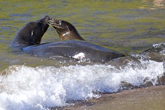 Sea Lions In Surf