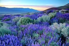 Eastern Sierra Lupine Sunrise (DM Weber) Tags: california canon lupine sierranevadas owensvalley bushlupine coth absolutelystunningscapes eos5dmarkii psa148 yourwonderland dmweber