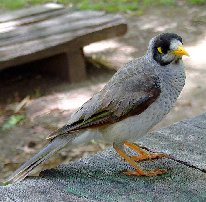 Aussie Noisy Miner Bird