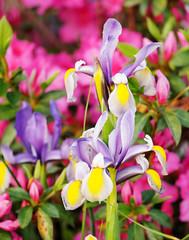 Iris (_Maji_) Tags: iris nikon nikond300 wonderfulworldofflowers