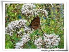 US413T7小紫斑蝶,胡其偉攝台灣蝴蝶保育學會提供。