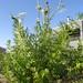 chamaemelum nobile flore pleno / roomse kamille