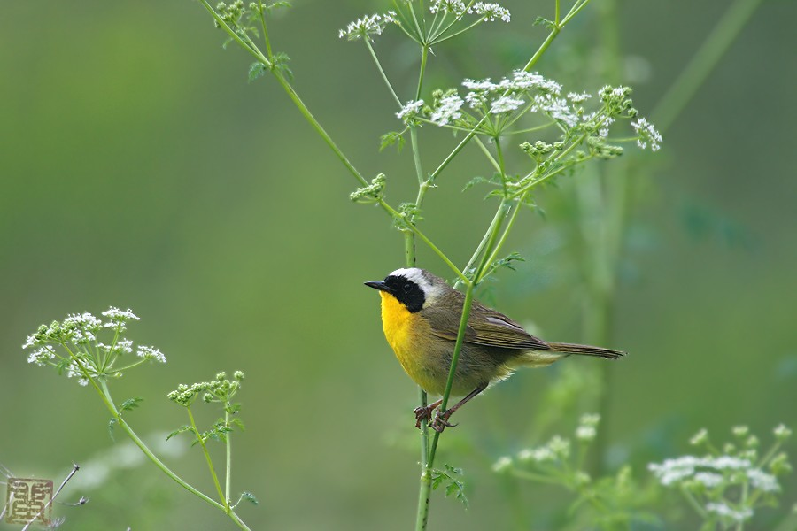 Common Yellowthroat 05101-3
