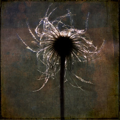 Corona (Peter Femto) Tags: plant flower nature backlight square flora natur pflanze clematis seed illuminated textures glowing layers textured leuchtend oldmansbeard wildclematis gegenlicht klematis bsquare nikonf801 flugsamen gemeinewaldrebe clematisseedhead artistictreasurechest coppercloudsilvernsun flypapertextures