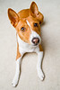 Curious Basenji (Charlie the Cheeky Monkey) Tags: dogs basenji simba brownandwhitedog mindyourownbusinessyoutagreaders wideanglesanddogsdomix
