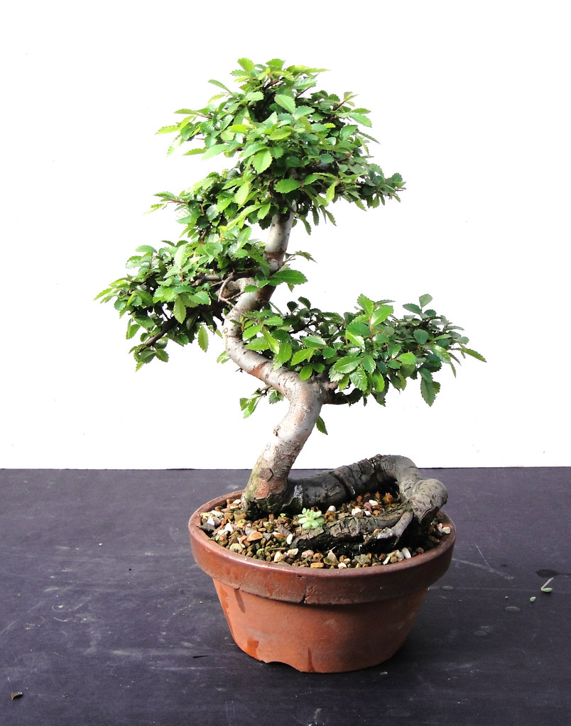 Wee Trees Bonsai Help Forum Advice For All View Topic Elms Wiring Chinese Elm Image