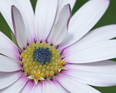 Osteospermum: Two little stars emerge in the spring sunshine