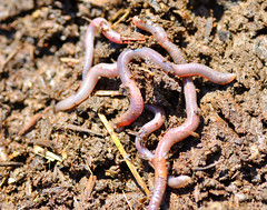 Earthworms by Will Merydith