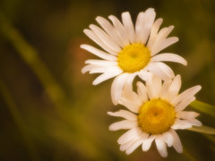 Daisy Dreams (Mark Tenney) Tags: flowers white blur green yellow bokeh nikond50 dreamy diasy mywinners platinumphoto