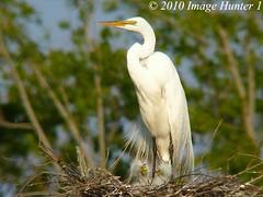 Great Egret & 3 Chicks (Image Hunter 1) Tags: nature birds louisiana nest bayou breeding swamp chicks marsh egret greategret nesting plumage juveniles birdslouisiana panasonicfz35 raynox2025hd22x