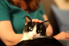 Oliver Patted on Head (Mr.TinDC) Tags: cats pets animals j hands oliver fingers tuxedocats spouse kitties wife felines moggy blackandwhitecats mrst blackwhitecats