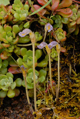 Orobanche uniflora (Naked Broom-rape) and its host plant, Sedum spathulifolium (Pacific Sedum) (birdgal5) Tags: california nikon may d200 crassulaceae sedum placercounty oddshaped orobancheuniflora orobanche sedumspathulifolium purpleyellow orobanchaceae wfgna broomrape 105mmf28gvrmicro nakedbroomrape dutchflat pacificsedum nativeannual drumpowerhouseroad
