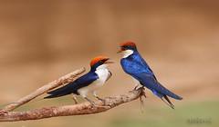 The Wire-tailed Swallow (Zahoor-Salmi) Tags: pakistan nature birds animals canon photos wildlife bhalwal zahoorsalmi thewonderfulworldofbirds