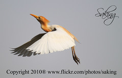 On the way (Saking--Little Busy) Tags: nature flight kingdom stealth egret saqib saking mywinners concordians kingloi stunningwisdom