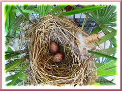 Pycnonotus goiavier (Yellow-vented Bulbul) laid a clutch of 2 eggs and abandoned them!