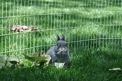 Max in the leaves (sensitivebunnyguy) Tags: cute bunny bunnies lopear netherlanddwarf cutebunnies cuterabbits cuterabbitphotos