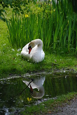 Who am I looking at?? (R R Horne) Tags: reflection nature vancouver swan bc stanleypark lostlagoon