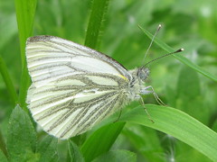 Green veined white butterfly (Pieris napi) (shadowshador) Tags: white green butterfly insect wildlife insects lepidoptera british biology arthropods animalia arthropoda invertebrate invertebrates