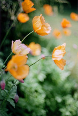 Impressions in the Wind (Ashley E. Moore) Tags: flowers orange green film 50mm poppies canonae1 impressionistic 400iso 50mmlens