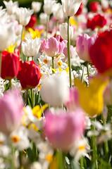 Tulpaner och Påskliljor
