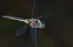 The Flight of the Navigator (Emery O) Tags: epitheca cynosura epithecacynosura beautifulmonsters femalecommonbaskettail