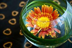 Zen 2.0 (michaeljosh) Tags: fishbowl gerbera zen tamron90mmf28 project365 nikond90 michaeljosh zen20