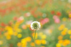[フリー画像] 花・植物, マメ科, シロツメクサ・クローバー, 201006120500